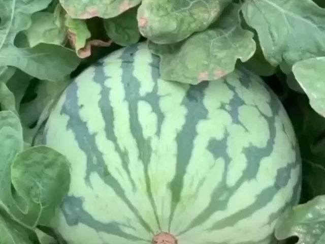 uY  6OV7qPrzftiul6T60pns1aR4PWX6dfwmgJJs3WQ 640x480 - How to open a watermelon with a toothpick - home, hobbies
