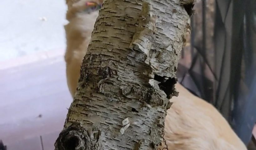 alfjw7a5j1561 820x480 - What can I do with this awesome piece of birch bark? It's actually just the bark, and is unbroken the whole way around. It's so pretty! - hobbies, crafts