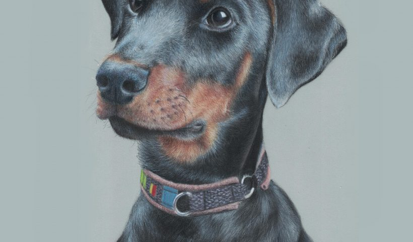 "zdu1hf9rq2861 820x480 - Dobermann portrait I made back in 2019. Colored pencils on 9"" x 12"" paper. What do you think? - hobbies, crafts"